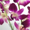 harry-hilders-orchidea
